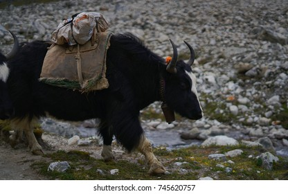 Black Yak Going to Gorak Shep, Everest Base Camp Trek, Nepal
