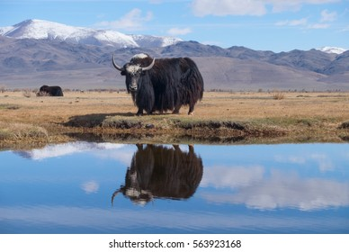 Black yak in the lake in the mountains
