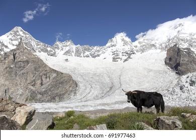 The black yak on baltoro glacier in Gilgit-Baltistan of Pakistan.