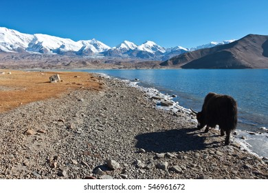 Black Yak walking alongside Karakul Lake in Kashgar, China near Karakoram Highway