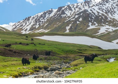 Black yaks graze on a green meadow on a background of snowy mountains