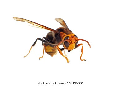 Black and Yellow Asian Hornet isolated on white