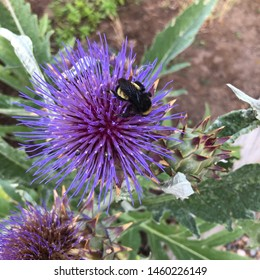 black and yellow bumble bee on cardoon