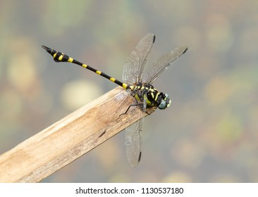 Black and yellow colored dragonfly