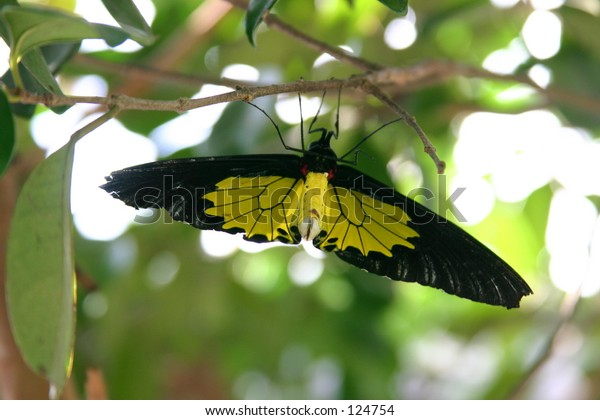 Black and Yellow Common Wing Butterly