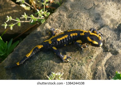 Black yellow fire salamander, (Salamandra salamandra), portrait - in a forest near the village Beckedorf, district Stadthagen, Lower Saxony, Germany