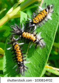 Black and yellow fuzzy caterpillars-nature photography-Milkweed Caterpillar's.
