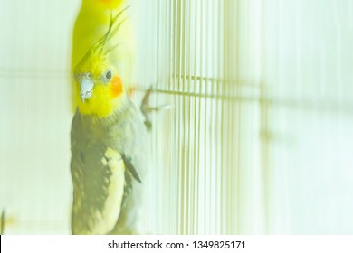 Black with yellow head parrot Corella holding the edge of the cage next to other birds