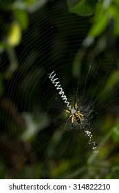 Black and yellow orb weaver spider on spiral wheel-shaped web with bright white stabilimentum, against dark garden background.