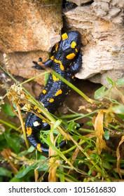Black and yellow salamander lizard in his natural habitat