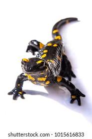 Black and yellow salamander lizard on white background