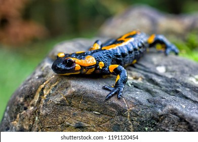 a black yellow spotted Europaean fire salamander (Salamandra) on stone