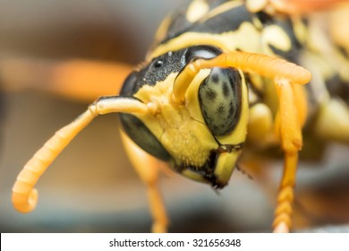 black and yellow wasp with green eyes looks down
