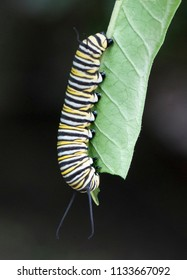 Black, yellow, and white striped monarch butterfly caterpillar is nibbling on a green leaf against a black background.