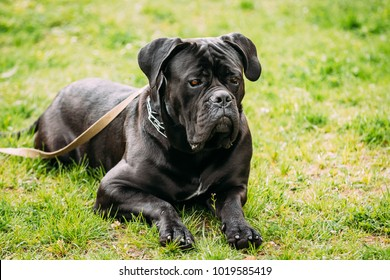 Black Young Cane Corso Dog Sit On Green Grass Outdoors. Big Dog Breeds. Summer Season