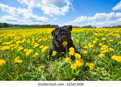 Black young puppy pug sitting in the green grass among the yellow dandelions