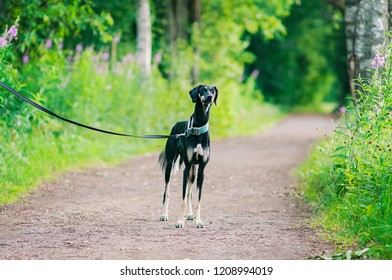 Black young saluki dog outdoors enjoying the lovely Summer weather in Finland, Porvoo