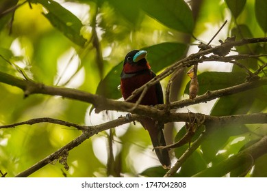 Black-and-red Broadbill (Cymbirhynchus macrorhynchos) in a Thai forest