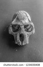 Black-and-white colobus monkey skull black and white