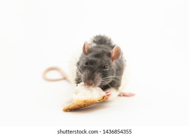 The black-and-white decorative rat, with an angry expression on his muzzle, eats a large piece of white bread, on a white background