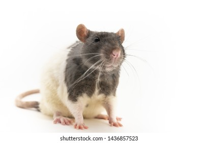 Black-and-white decorative rat, with a cute expression on the muzzle, on a white background