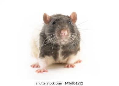 The black-and-white decorative rat sits and looks directly into the camera, against a white background