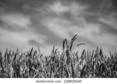 Black-and-white landscape with grain field viewed from below