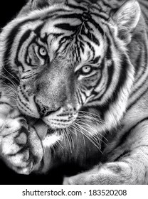 Black-and-white photo of a bengal tiger licking his paw
