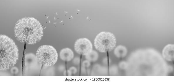 black-and-white photo landscape of white dandelions