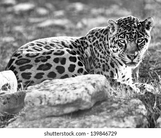 Black-and-white photo portrait of a leopard.