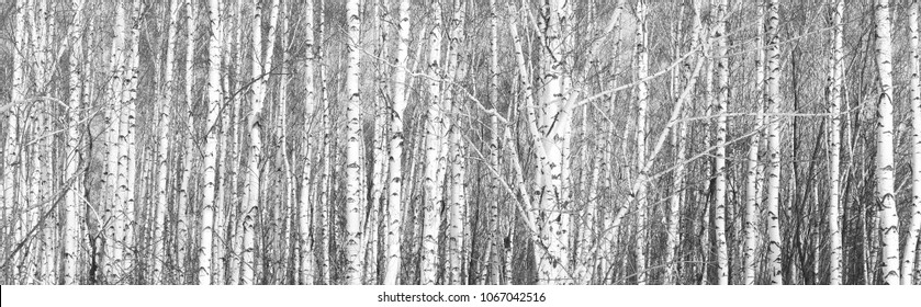 black-and-white photo of white birches in birch grove