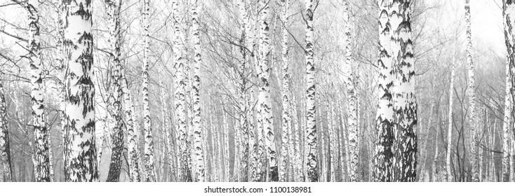 black-and-white photo with white birches with birch bark in birch grove