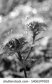 black-and-white photography of a dried up carline thistle, Carlina vulgaris, in closeup view with a lot of details