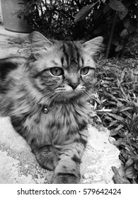black-and-white picture of persia cat