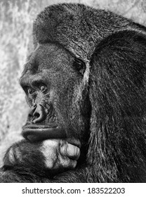 Black-and-white portrait of a gorilla in a zoo