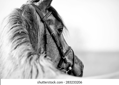 Black-and-white portrait of a sports stallion in a bridle.