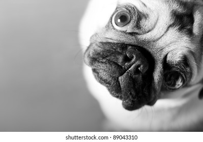 Black-and-white . Pug look up. Closeup