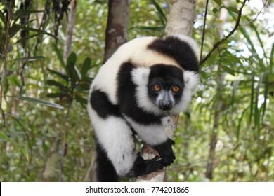 Black-and-white ruffed lemur climbing in madagascar's rainforest