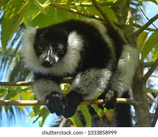 The black-and-white ruffed lemur Madagascar