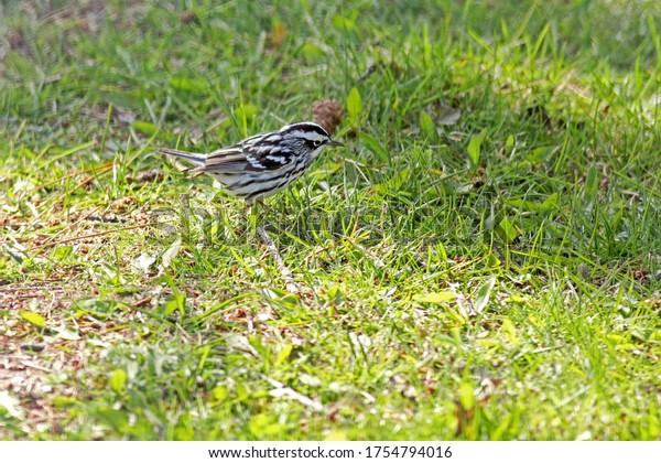 blackandwhite-warbler-mniotilta-varia-sp
