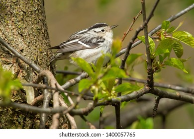 Black-and-white Warbler perched on a branch. Taylor Creek Park, Toronto, Ontario, Canada.