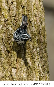 Black-and-white Warbler perched on a tree trunk.