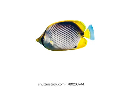 Blackback butterflyfish (Chaetodon melannotus) on white isolated background with clipping path