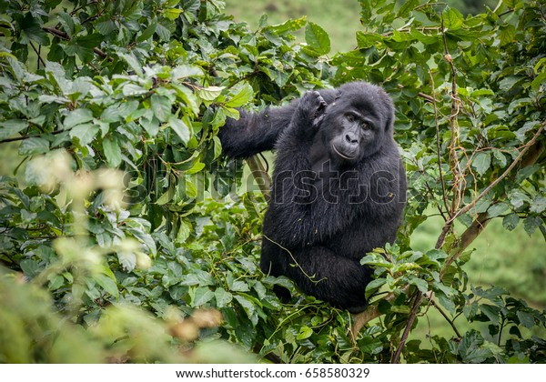 Blackback gorilla in the Nkuringo Family, Bwindi Impenetrable National Park, Uganda