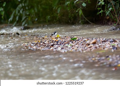 Black-backed forktail (Enicurus immaculatus), low angle view, side shot, foraging on riverbank which full of pebbles in Mueang Klong. a small town near Chiang Dao wildlife Sanctuary, north of Thailand