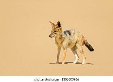 Black-backed Jackal - Canis mesomelas, beautiful young jackal posting in the sand of Namib desert, Walviss Bay, Namibia