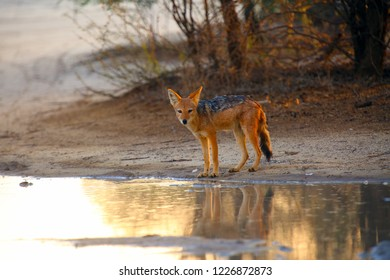 The black-backed jackal (Canis mesomelas) drinks at the waterhole in the desert. Jackal by the water in the evening light. Jackal at sunset at waterhole.