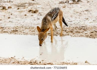 black-backed jackal, Canis mesomelas, Etosha national park, Namibia