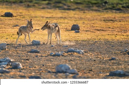 Black-backed jackal, Canis mesomelas, fox-like canis, pair of jackals are playing together, showing social signals. African wildlife scenery. Etosha national park. Namibia.