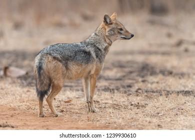 Black-backed jackal (Canis mesomelas) - Gir Forest